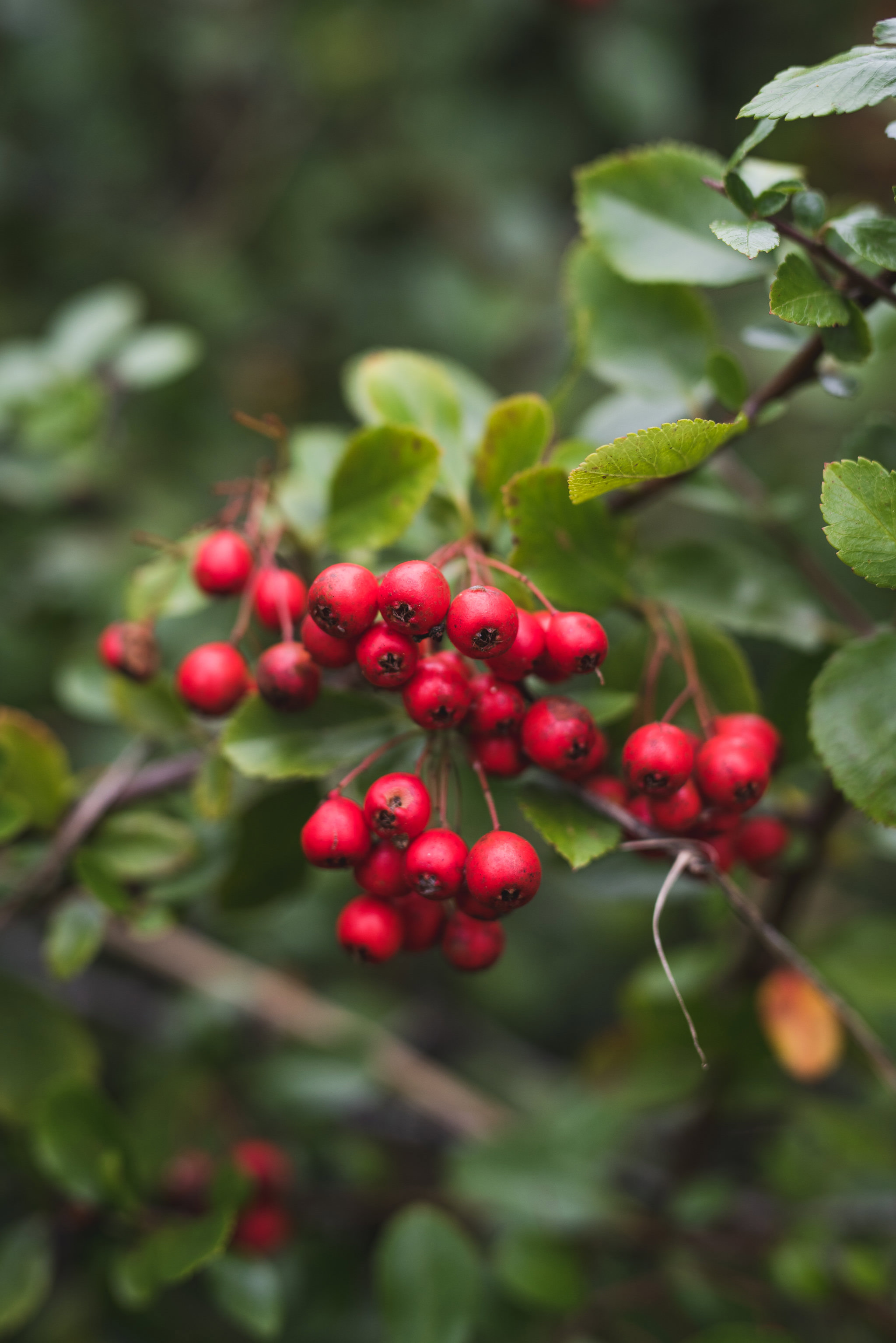 berries on a tree branch