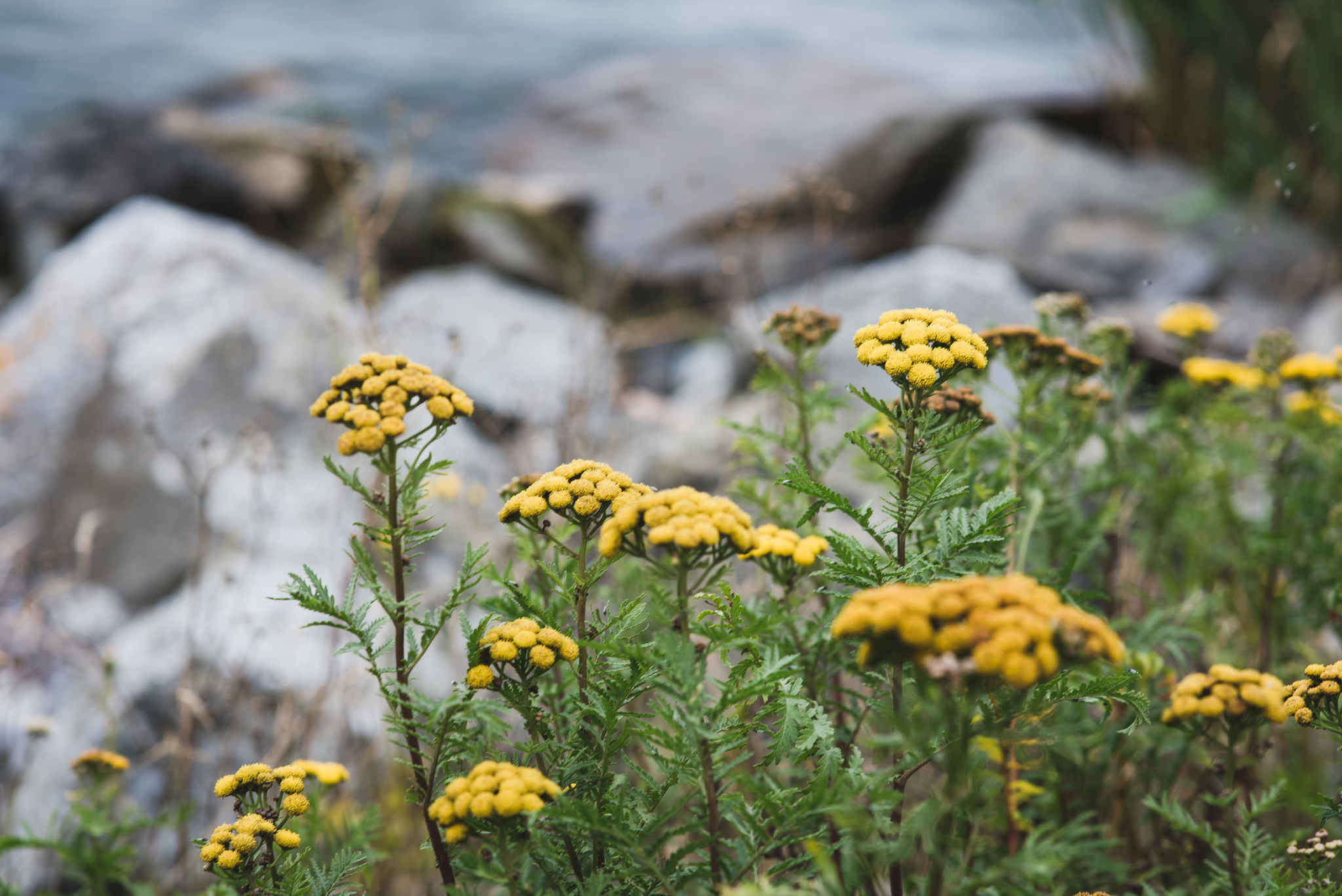 Yellow flowers in the archipelago of stockholm