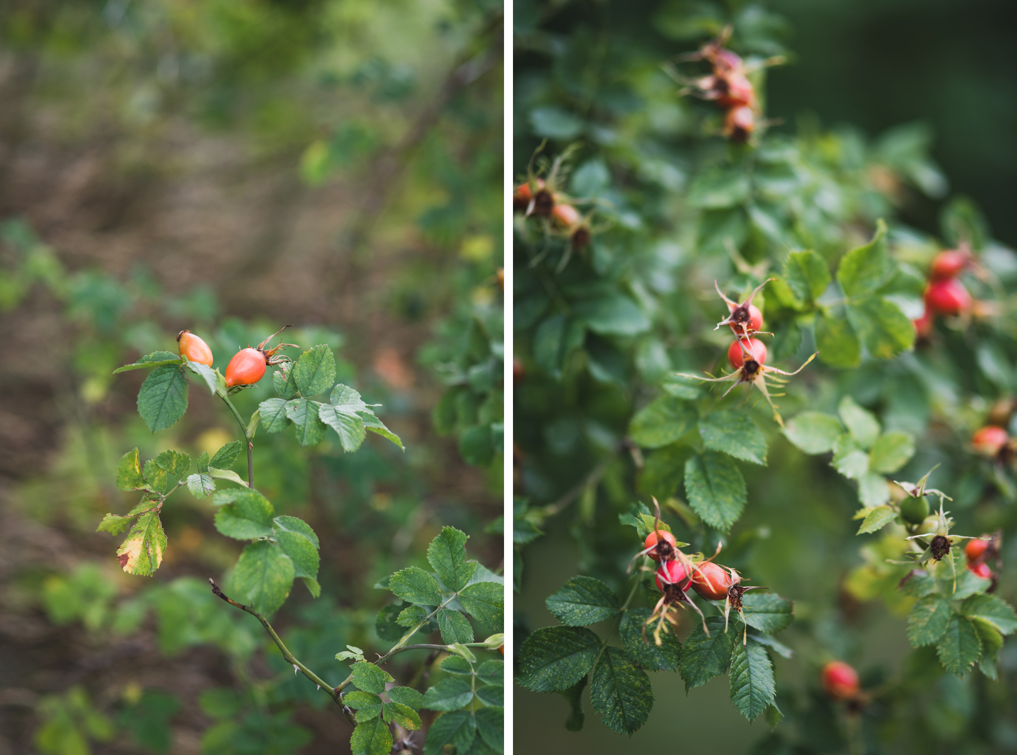 Rose hip bushes on Djurgarden in Stockholm